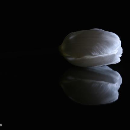 fine art tulip image
