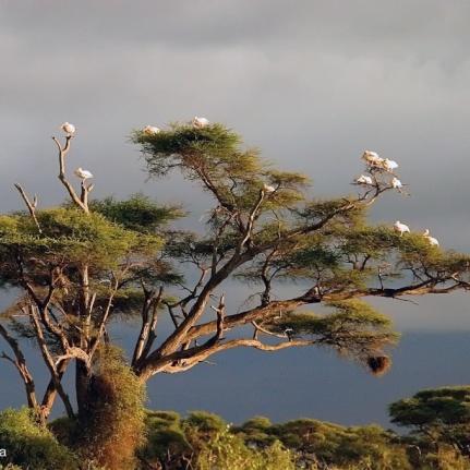 amboselli, kenya