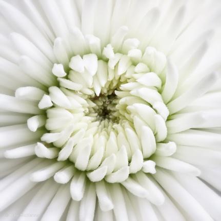 photo of white chrysanthemum