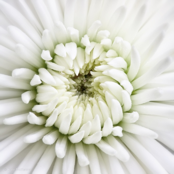photo of white chrysanthemum