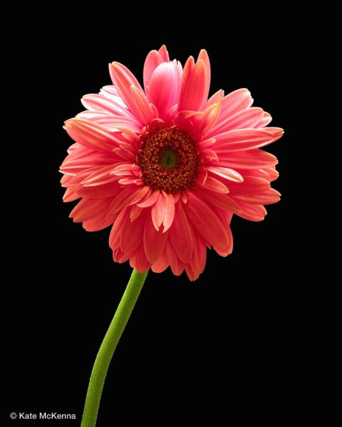 photo pink gerbera flower