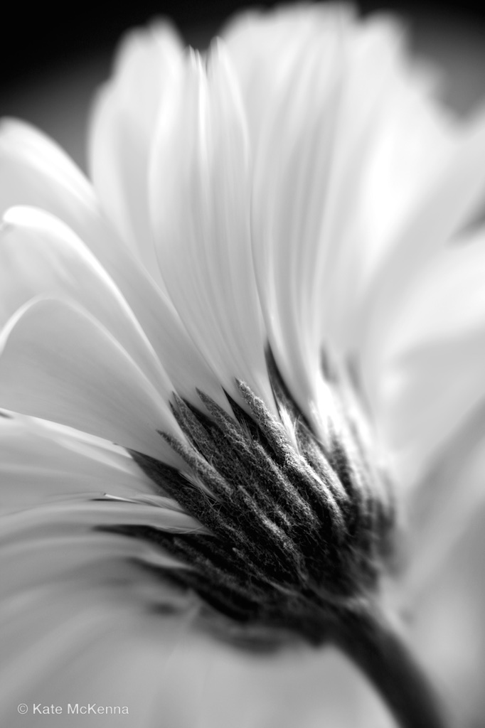 photo of gerbera flower