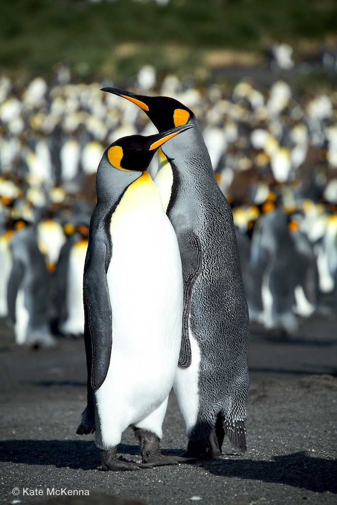 photo penguins