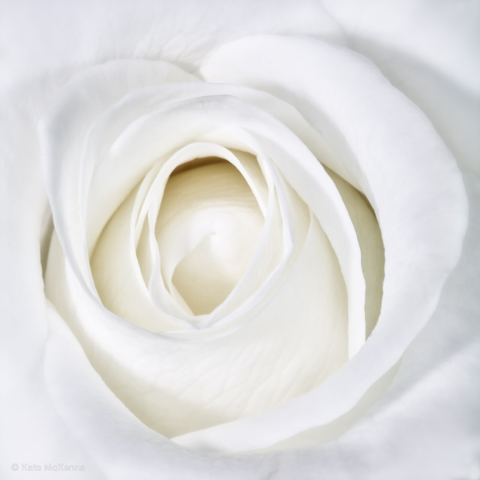 photo of white rose